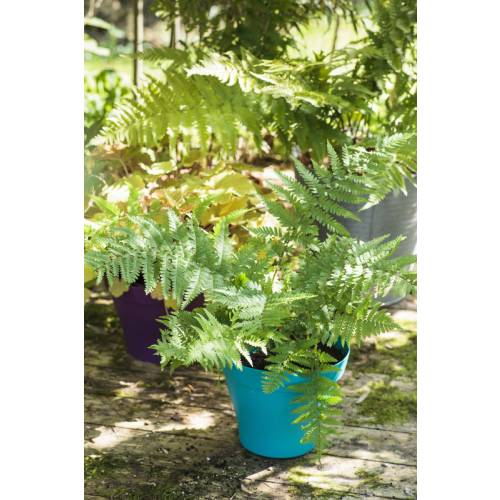 planter une fougere en pot