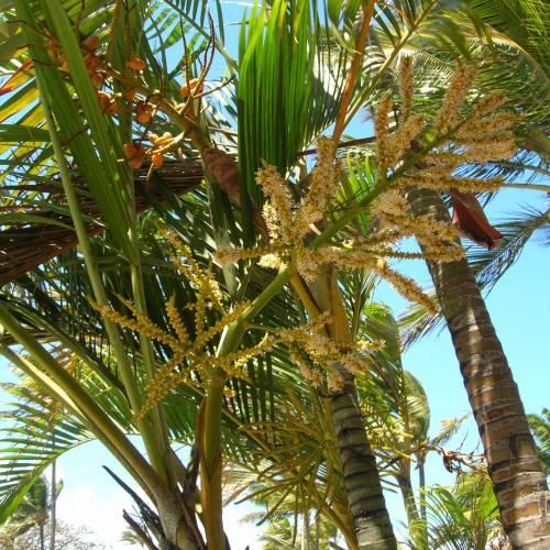Entretien areca simple olivier with entretien areca for Entretien palmier exterieur