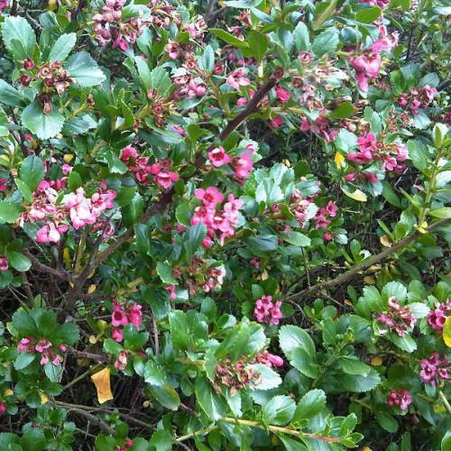 Escallonia macrantha rouge