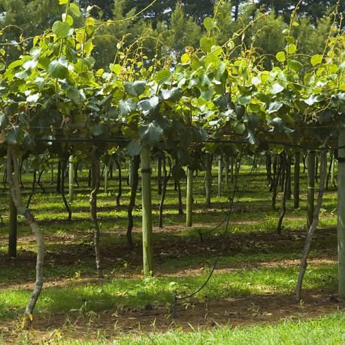 comment planter kiwi autofertile