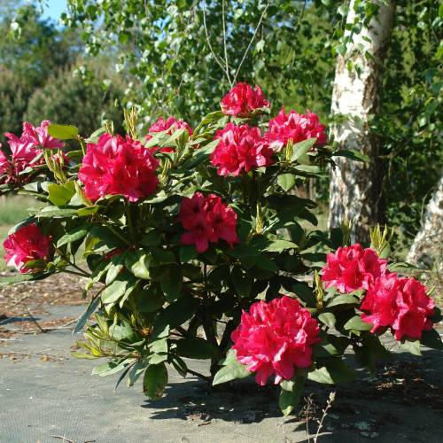 Rhododendron rouge 'Lord Roberts'