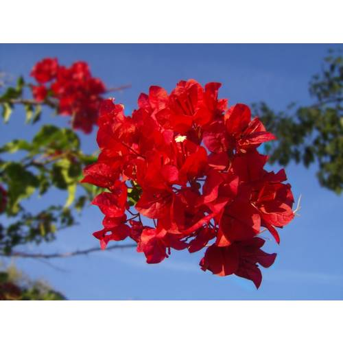 Bougainvillier rouge