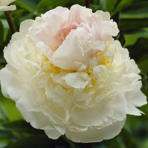 Pivoine 'Blush Queen'