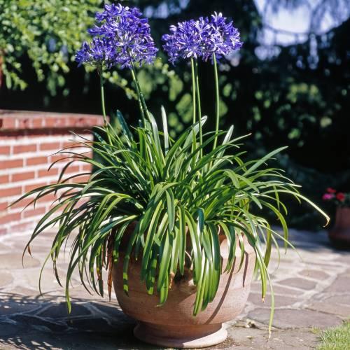 Agapanthe Bleue Vente Agapanthe Bleue Agapanthus Hyacintho