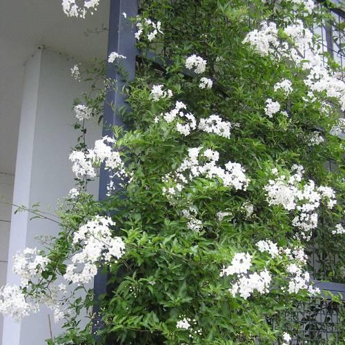 ou planter faux jasmin