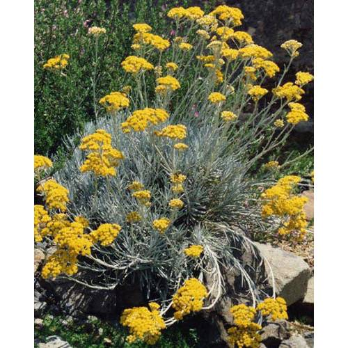Plante curry, Immortelle d'Italie