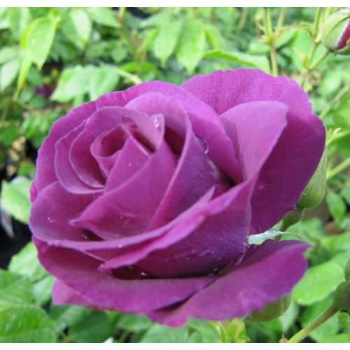 rosier 39 rhapsody in blue 39 vente rosier 39 rhapsody in blue. Black Bedroom Furniture Sets. Home Design Ideas