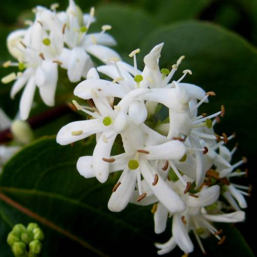 Heptacodium de Chine