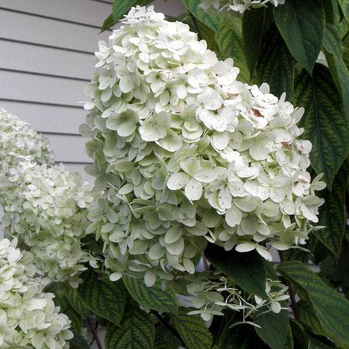 Hortensia à panicules 'Limelight'