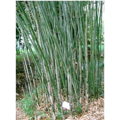 Bambou bissetii for Bambou moyen phyllostachys bissetii