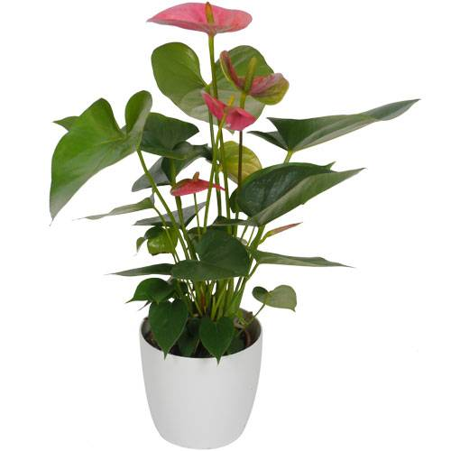 Anthurium rose + Cache pot Blanc
