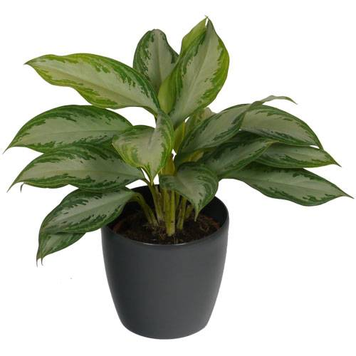 Aglaonema Silver Bay + Cache pot Anthracite