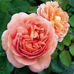 Rosa x Abraham Darby