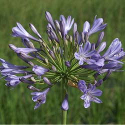 agapanthus blue triomphator