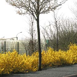 forsythia x intermedia maree d-or