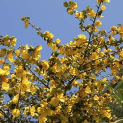 fremontodendron californicum -california glory