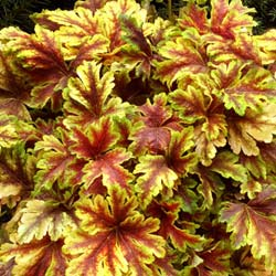 heuchera golden zebra